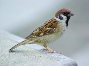 Vrabci si do hnízd dávají cigaretové nedopalky a zbavují se tak roztočů. Ilustrační foto: Carolinabirds.com
