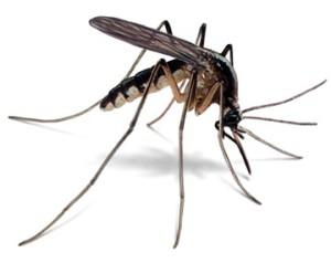 Změna pohlaví se jeví jako nadějný způsob boje proti komárům. Ilustrační foto: Wikipedia
