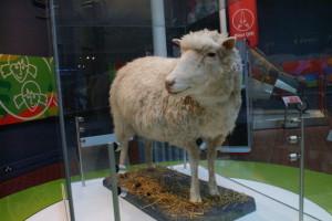 První klonovaným zvířetem byla ovečka Dolly, dnes k vidění Národním skotském muzeu v Edinburghu. Foto: geograph.org.uk