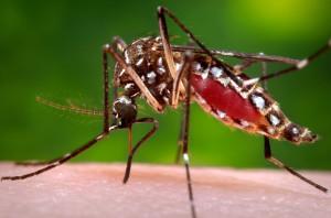 Samička komára  Aedes aegypti. Žádný mutant, normální hmyz, na který je ale v Česku příliš chladno. Foto: CDC